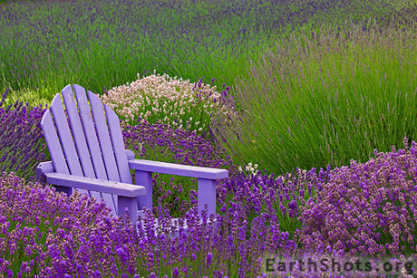 Lavender-Adirondack-Chair-via-